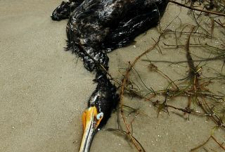 Dead bird in BP oil spill