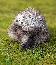 Hedgehog  needs quills